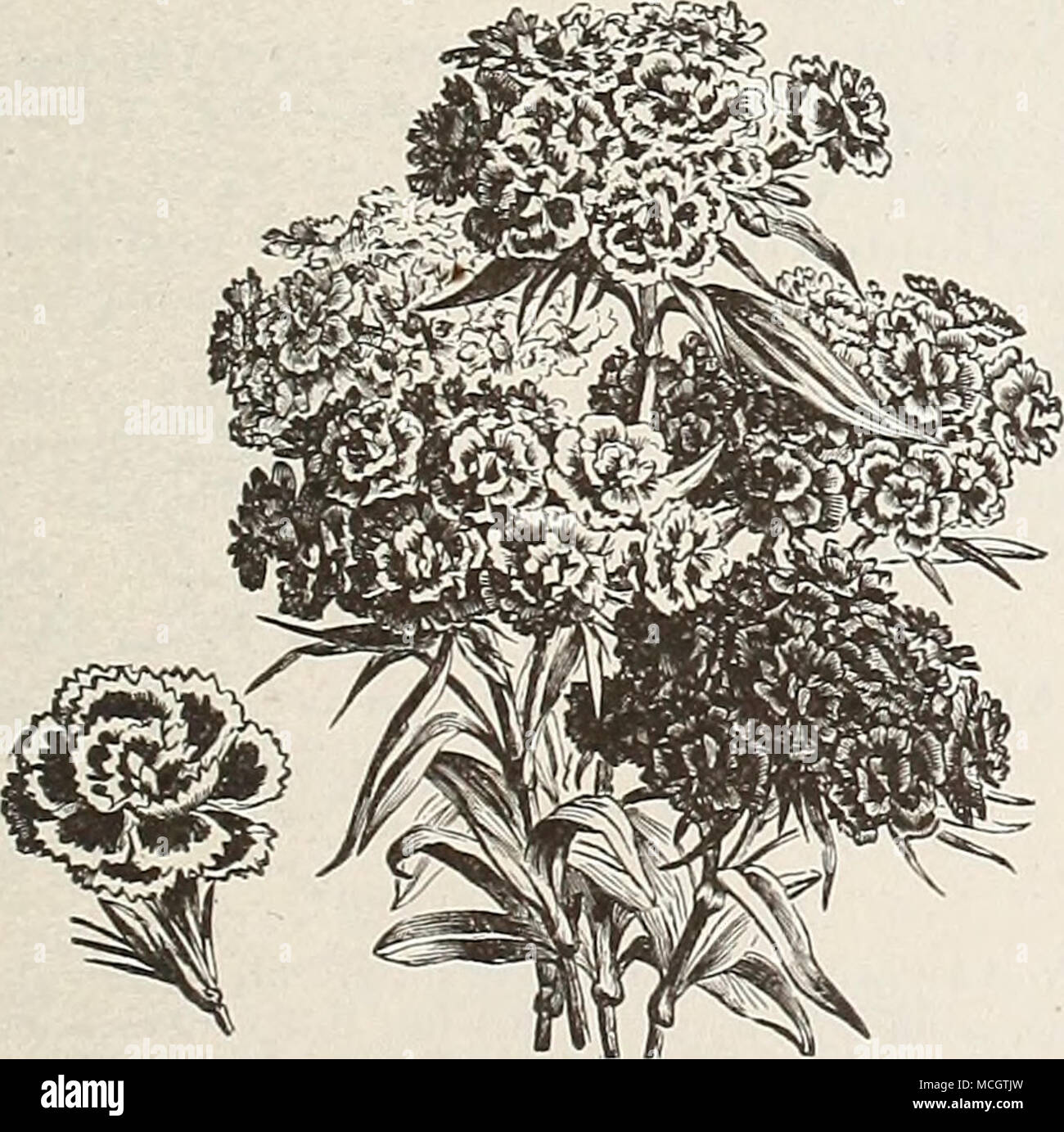 """. Double Sweet William. Suaeet CUilliam. (Dianthus Barbatus.) A well-known attractive free-flowering plant, which has been greatly improved of late years, producing a splendid effect in beds and shrubbery with their rich and varied flowers; hardy perennial; H feet. 6625 Sweet William Auricula Flowered. A beautiful class of """" eyed """" single varieties, all colors. Per oz. 50 cts 10 6640 - Single Mixed. Per oz. 40 cts 5 6630 — Double Mixed. Per oz. §1.00 10 77 STEVIA. Free-blooming plants, bearing a multitude of fragrant flow- ers; suitable for summer or winter blooming. PER PKT. 6622 St - Stock Image"""