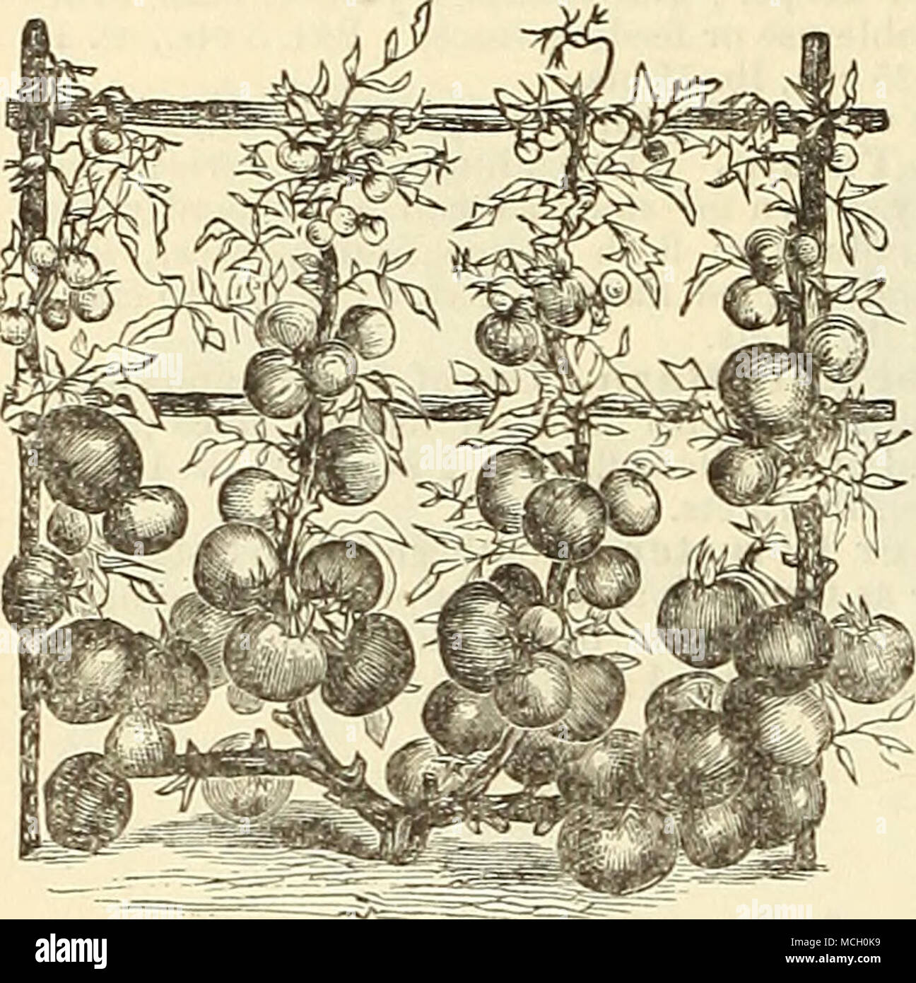 . IAL HERB SEEDS-Continued. ^Rosemary (Iiosemarinus officinalis). An aromatic and ornamental herb; 4 feet. Pkt. 10 cts., oz. 50 cts. â Rue (Ruta graveolens). For medicinal purposes, good for fowls for the croup; 3 feet. Pkt. 5 cts., oz. 25 cts. *Sage (Salvia officinalis). The tender leaves and tops are used in sausage, stuffing and sauces; 18 inches. Pkt. 5 cts., oz. 25 cts. Savory, Summer (Satureia hortensis). For seasoning purposes ; 1 foot. Pkt. 5 cts., oz. 25 cts. *Savory, Winter (Satureia montana). For same use as the above. Pkt. 10 cts., oz. 40 cts. *Tansy (Tanacetwm, vulgaris). For medi Stock Photo