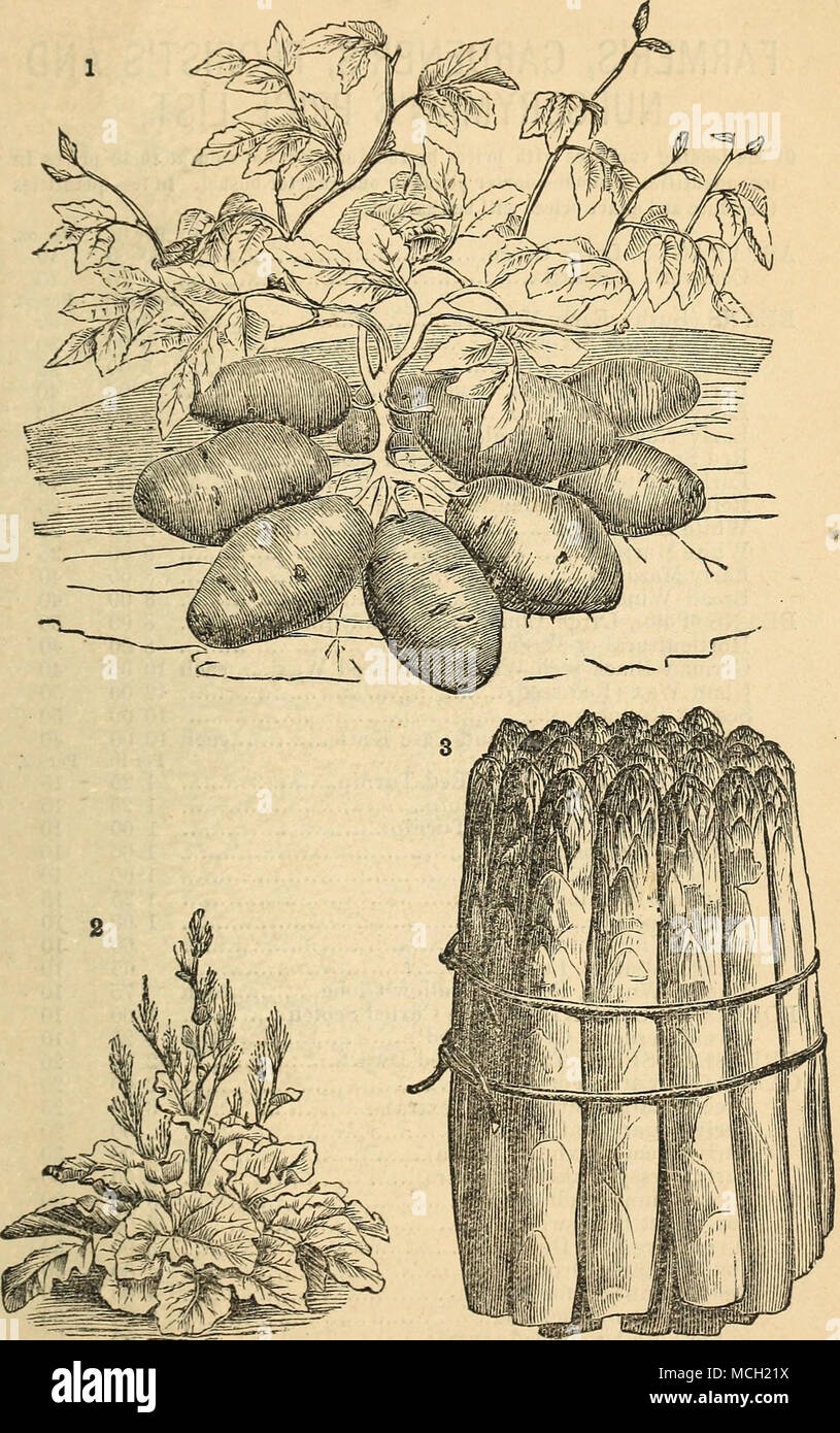 . 1. Sxow-Flake Potatoe. 2. LiN>r>T:us Rhcbaeb. 3. Conover's Colossal Asparagus. For Varieties, see pages 37 and 38. Stock Photo