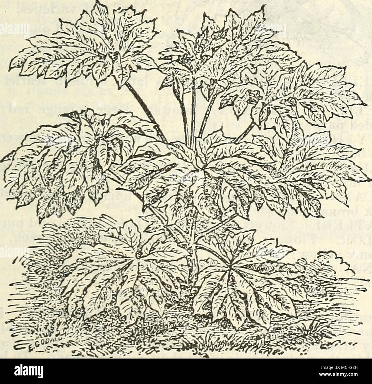 . ARALIA PAPYRIFERA. A very showy plant, with large handsome leaves, the under side of which is covered with a woolly down; fine for vases or bedding out. 50 ets. - Stock Image