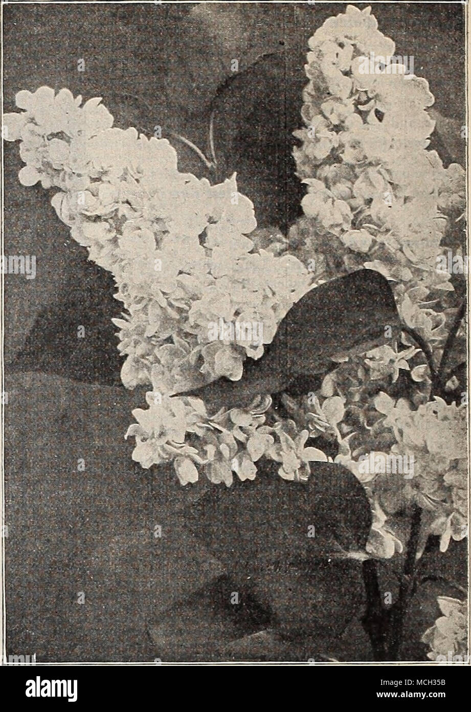 . Syringa or Lilac, Mme. Casimir Perier. SVKINGA, OR LILACS. Lilac Charles X. .â V strong rapid-growing variety, with largi-, shining leaves. Trusses rather loose; large, reddish-j.nrjilc. 50 cts. each. â Common {Syringa vulgaris). The common purple lilac s|iecies. 25 cts. each. â Common White (5. Vulgaris alba). Flowers pure white, fra''iaiit, beautiful. 25 cts. each. r . if ^f%^ - 4f mS^ -^ 5t^% â â .r; ^y^'*^ BTOBiJiy'my- * I SVMPHOHlCAKi-US Lilac Emodi. Entirely distinct an<l p.irticularly useful because it does not ijloom until June, wdien all other varieties are out ⢠it flower; the  - Stock Image