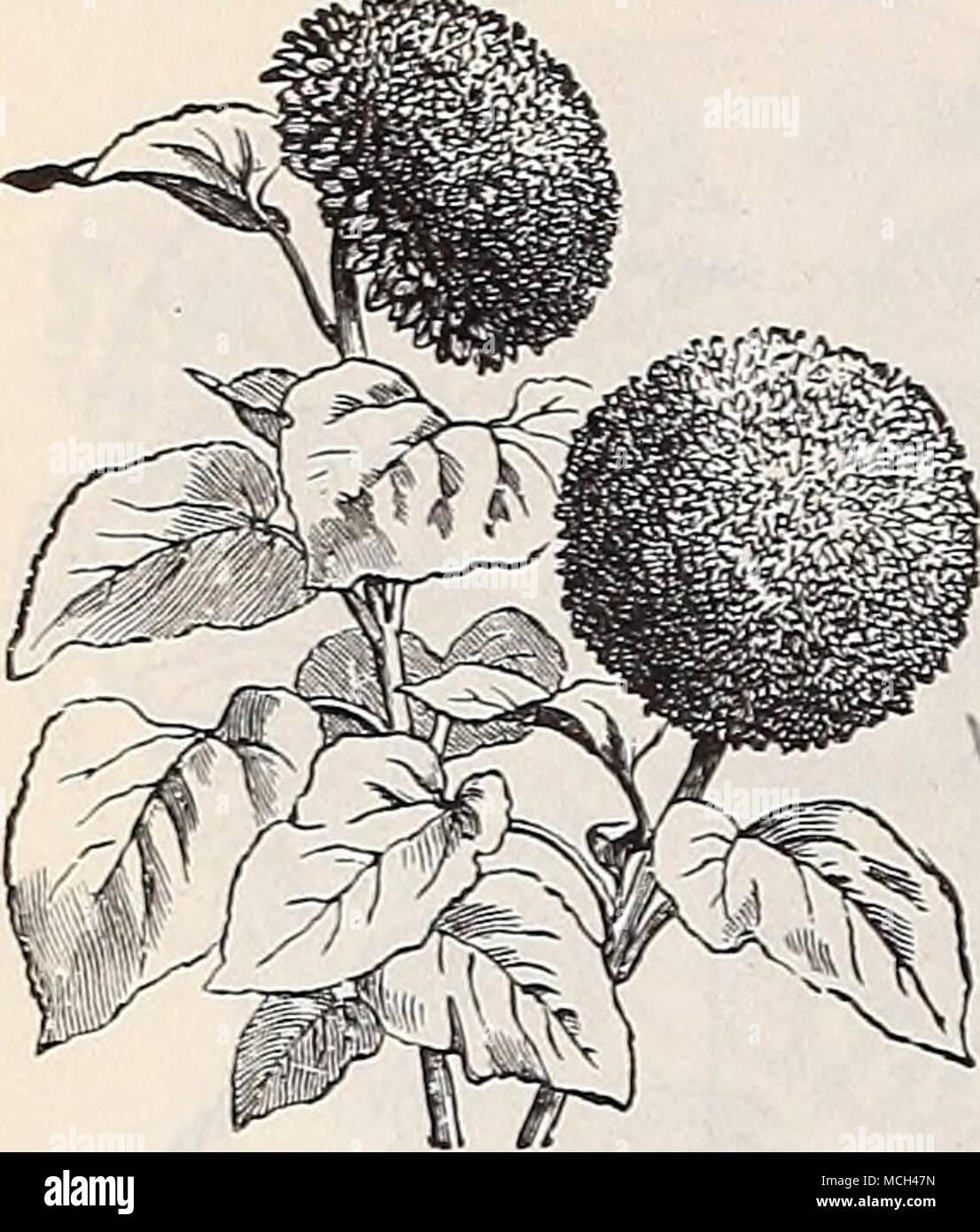 . Double Globe Sunflower. 2700 - Stock Image