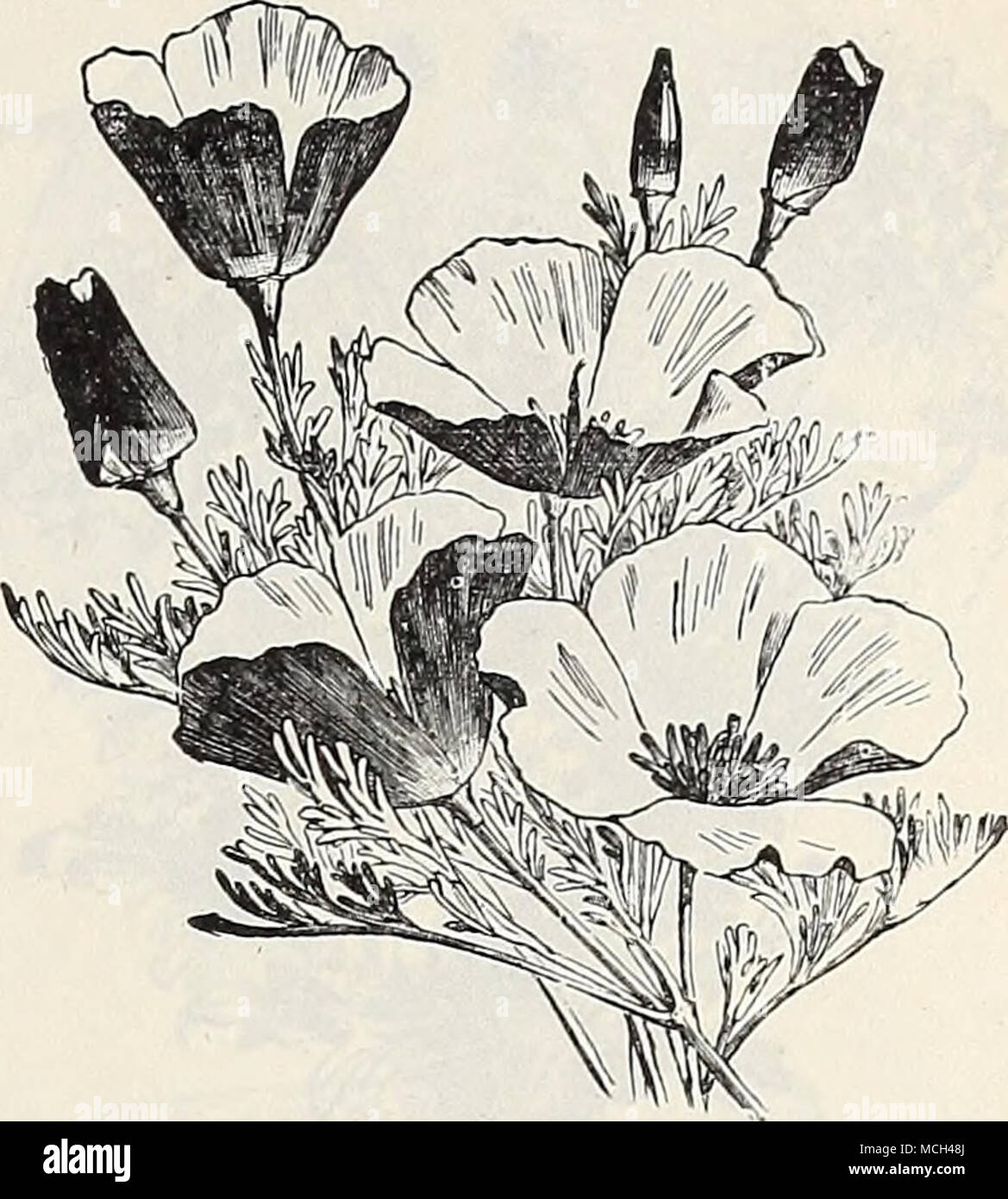 """. Very masses; Euphorbia Vakiegata. EcHiNocYSTis Lobata. ESCHSCHOLTZIA. ESCHSCHOLTZIA. (California Poppy, Gold Cups.) attractive annuals for beds, edgings, or profuse floweiing, fine-cut, glaucous foli- age; in bloom from June till frost; 1 foot. (See cut.) PER PKT. 24""""23 Californica. linoht yellow. Oz., 25 cis. 5 2424 — Alba. I'ure uhite Oz., 25 cts 5 2425 — Aurantiaca. Rich orange. Oz., 30 cts. 5 2426 riandarin. Inner side of the petals rich orange, the outer side brilliant scarlet. Per oz., 40 CIS 5, 2427 Rose Cardinal. Large flowers of intense carmine. O?,.. 40 cts 5' 2428 Qoiden West - Stock Image"""