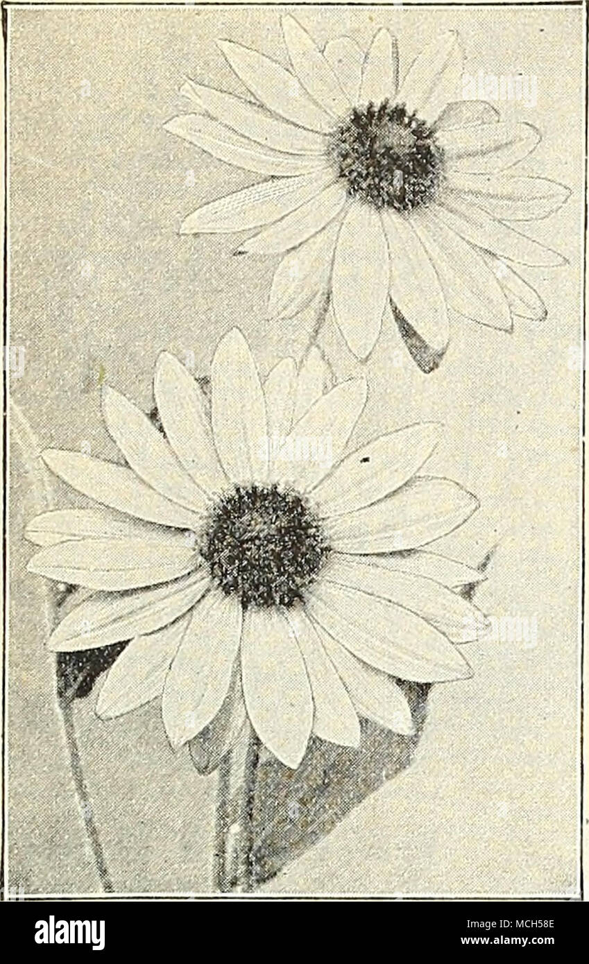 Helianiiius Tomfntosus Hemerocaiiis Yellow Day Lily