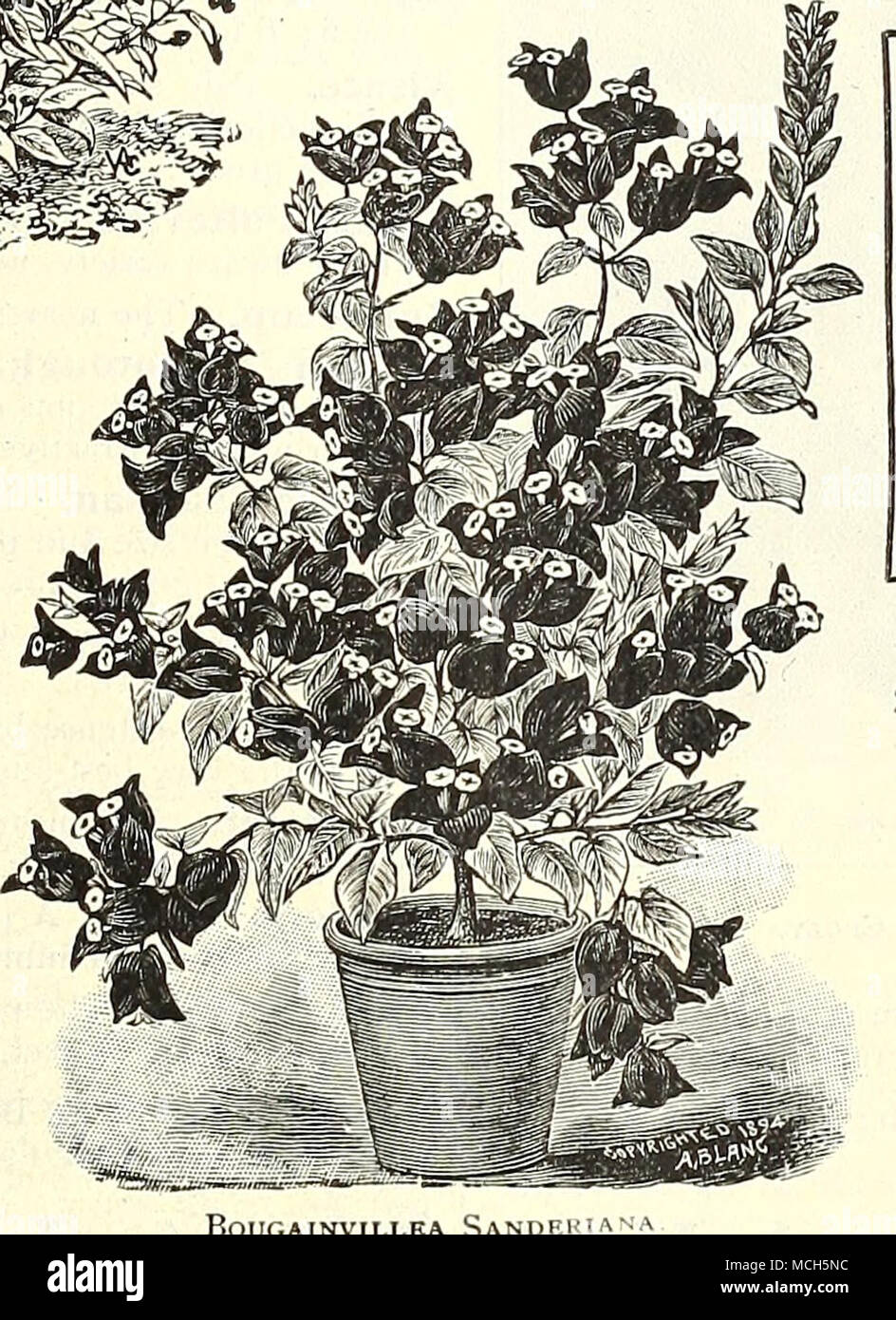 TWO GRAND FREE FLOW ERING TUBEROUS ROOTED BEGONIAS Duke Zeppelin And Lafayette Shown In Colors On The Back Cover Of This Book Are De Scribed