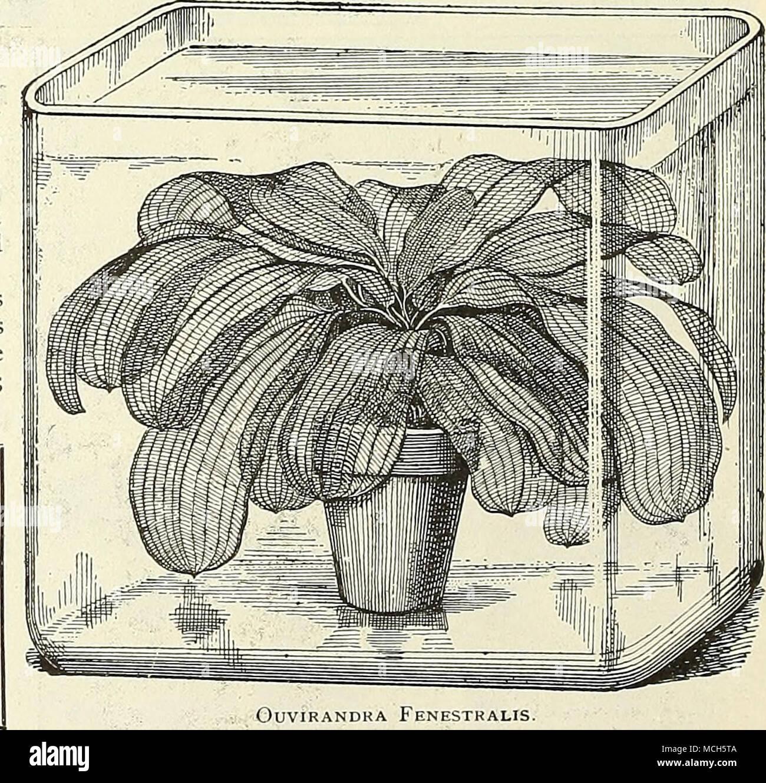 . Ouvirandra Fenestralis, THE WATER GARDEN. A splendid book on Aquatics. Price, $2.00, postpaid. - Stock Image