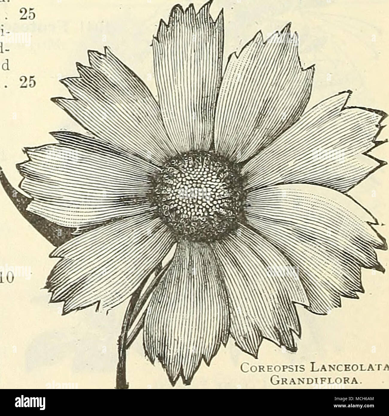 Coreopsis lanceolata grandiflora collections of seeds of old collections of seeds of old fashioned flowers fragrant flowers quick growing annual climbers etc are offered on page 56 izmirmasajfo