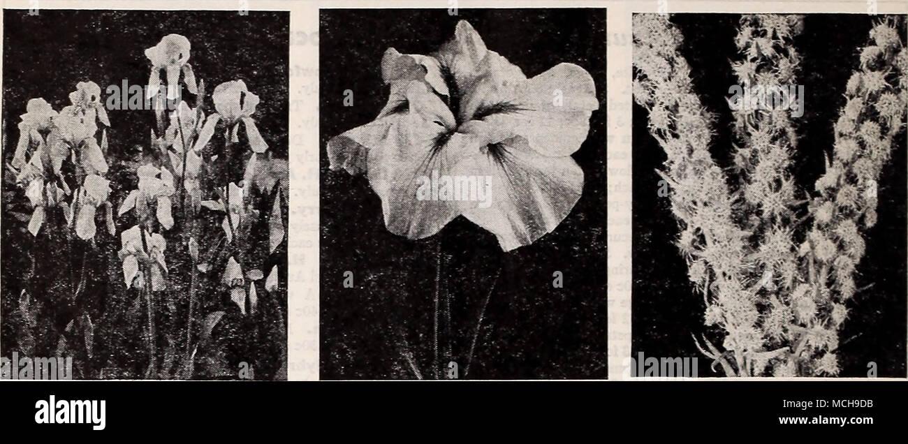 buy popular 552e0 51026 Bearded Iris Japanese Iris, Gold Bound Liatris—Blazing Star Ten Choice  Bearded Ins .