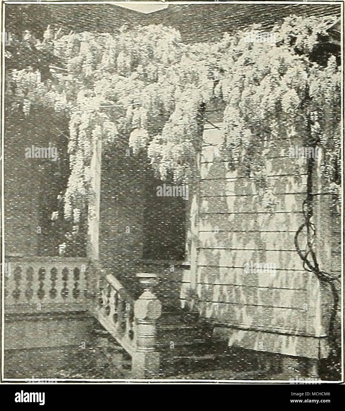 Wisteria Sinensis Wisterias One Of The Best Hardy Climbers