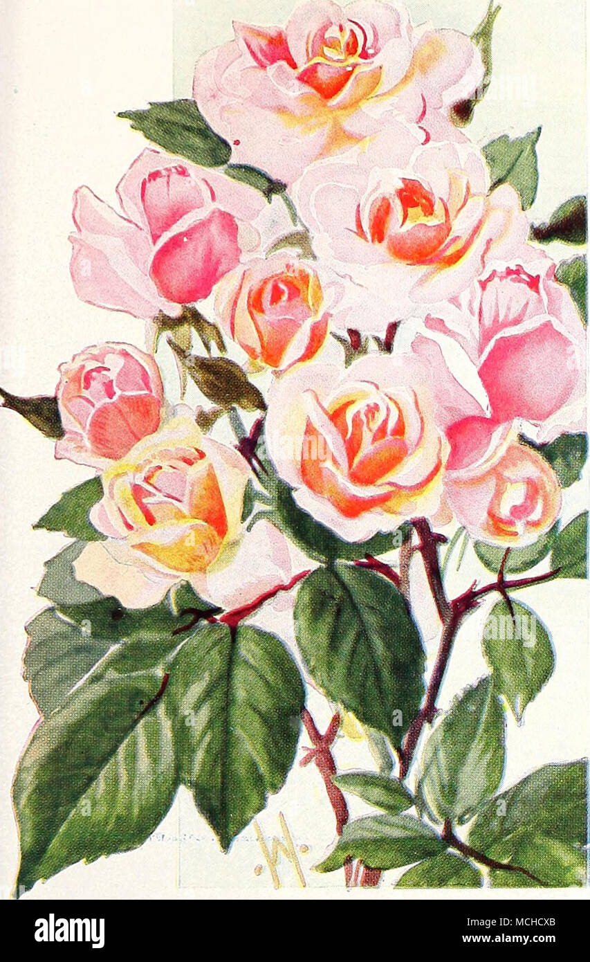 Polyantha Or Baby Roses A Type Of Roses Which Is Very Popular For