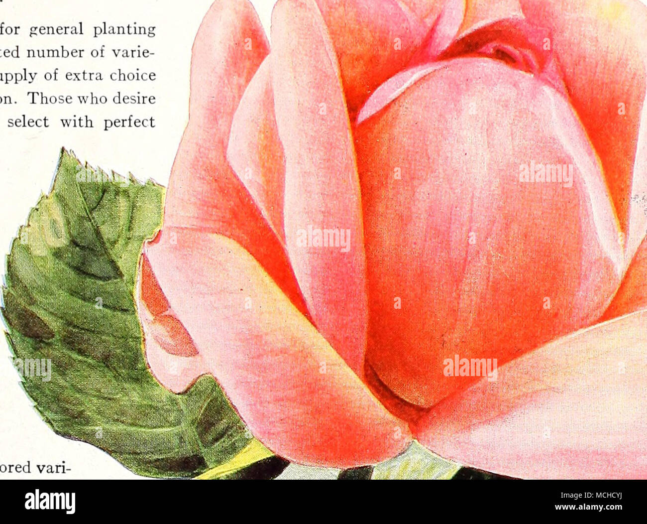 Imperial Potentate. The beautifully-shaped long buds de- velop into ...