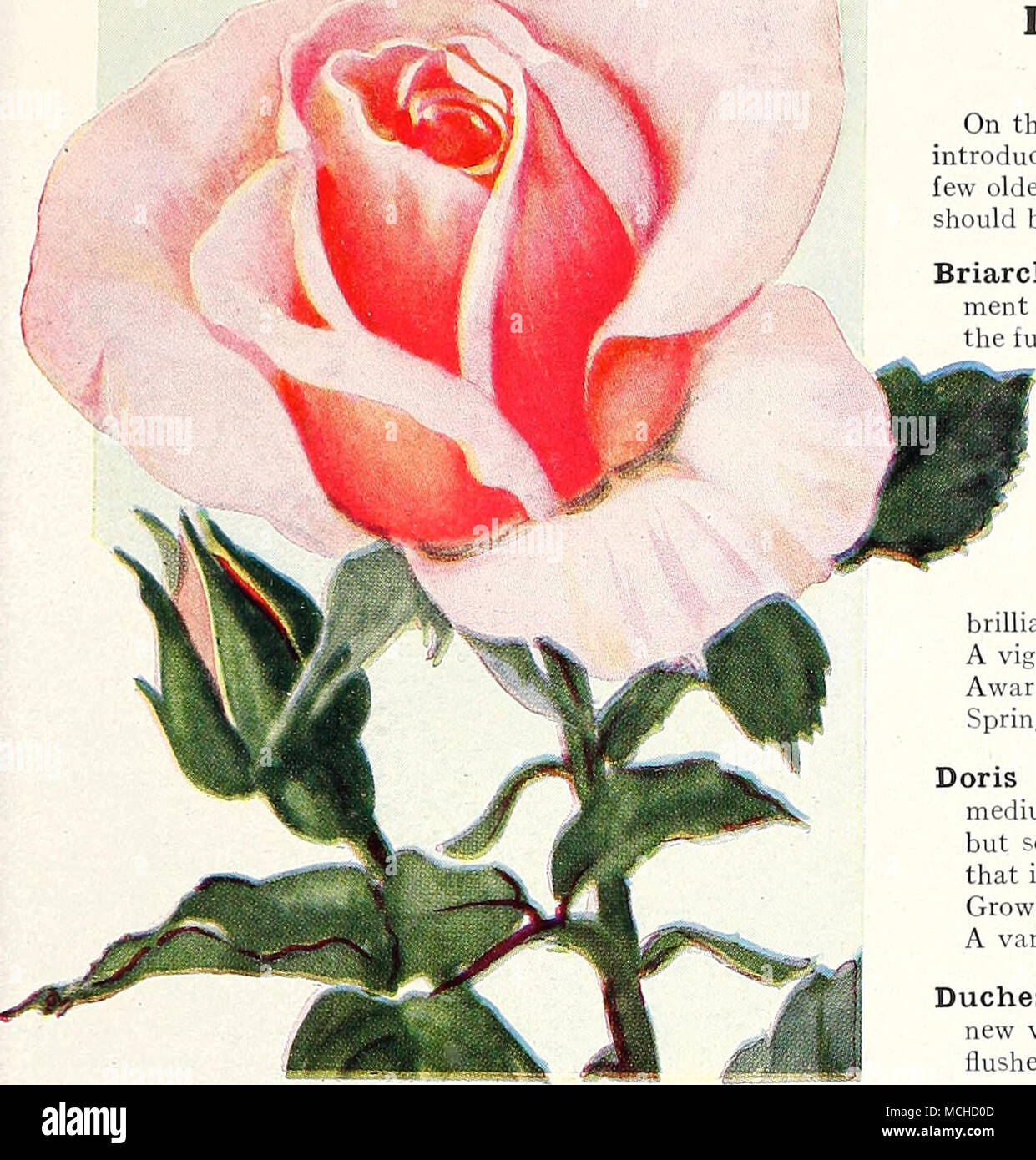 New Hybrid-Tea Rose, Mrs. Lovell Swisher Duchess of York (Sandy ...