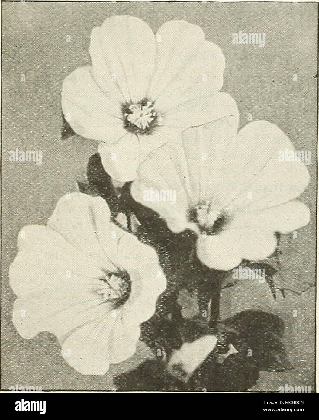 """. Double Stock-flowered Larkspur Exquisite Lavender (Lavandula Vera) PER PKT. 2971 Well-known, sweet-scented, """" hardy perennials; should be ex- tensively grown in the mixed border; 3 feet.  oz., 25 cts. ... 10 Liatris (Blazing Star, or Gay Feather) 2982 Most showy and attractive hardy perennial native plants, with long spikes of purple and rosy-purple flowers from July to September; 3 to 4 feet. Mixed varieties 10 Linaria 2991 Cymbalaria {Kenilworth Ivy, or Mother of Thousands). Lavender and purple. A charming, neat, hardy perennial trailing plant, suitable for baskets, vases, pots and r - Stock Image"""