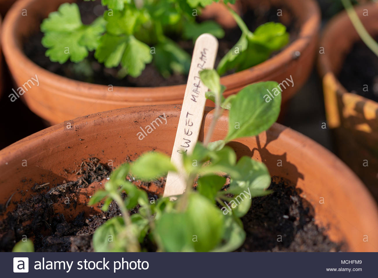 Terracotta plant pots with culinary herbs, one labelled Sweet Marjoram on a wooden lollipop stick. - Stock Image