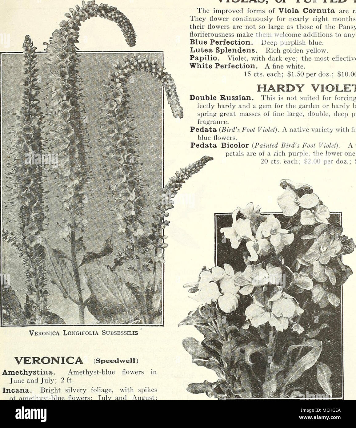 Veronica longifolia subsessilis veronica speedwell amethystina amethyst blue flowers in june and july 2 ft incana bright silvery foliage with spikes of amethyst blue flowers july and august 1 foot izmirmasajfo