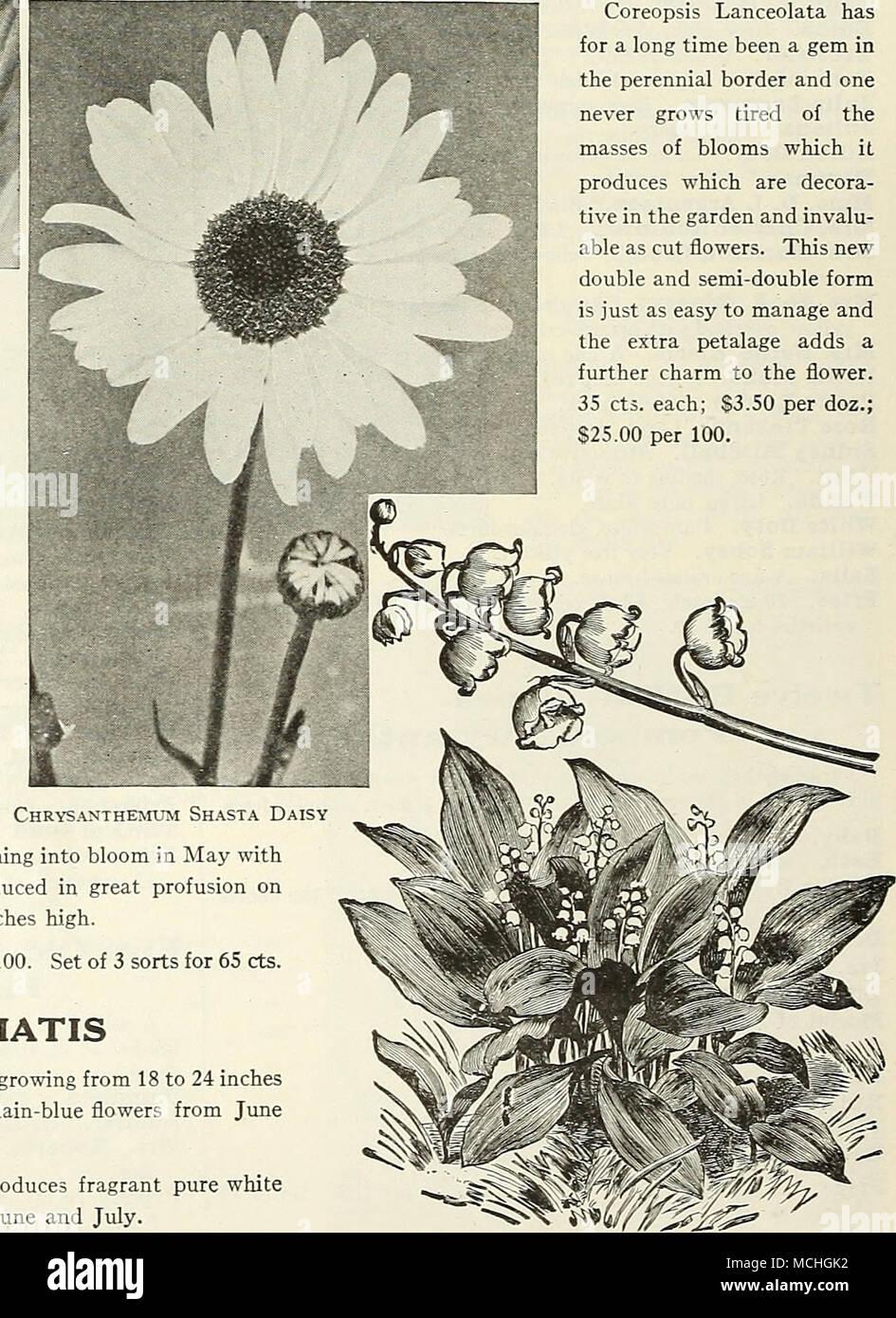 . CONVAtLARJA (Lily of the Valley) - Stock Image