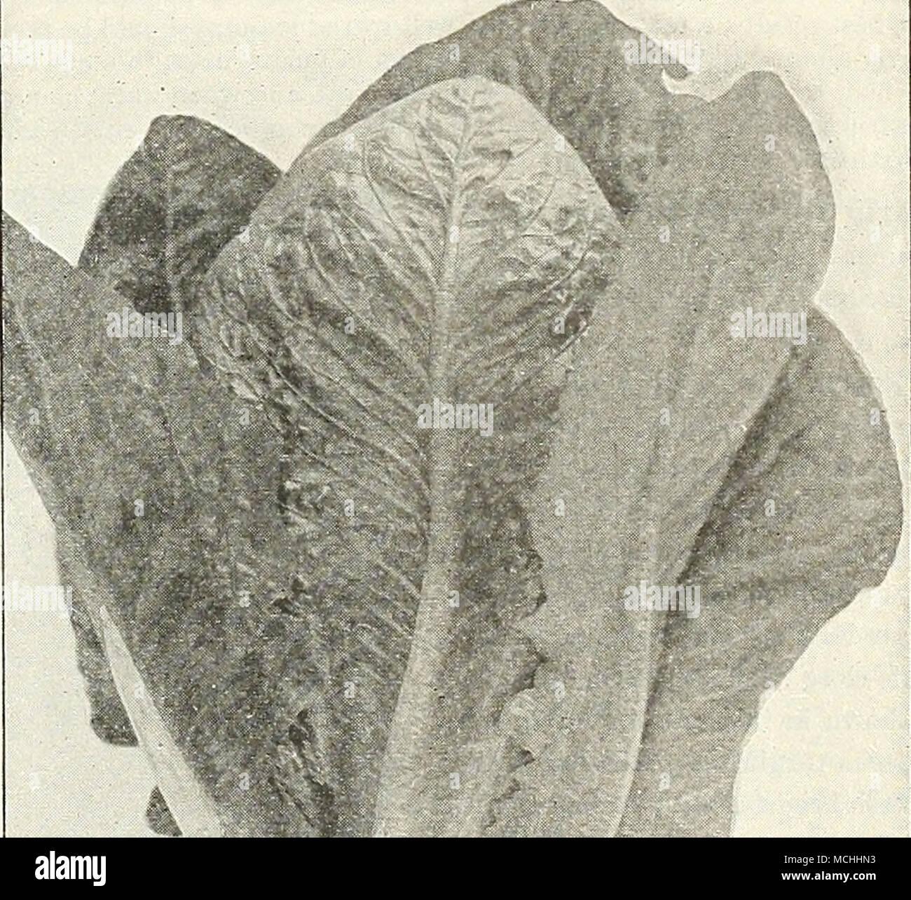 . KjngsHOLmCos Lettuce^ Kingsholm Cos, One of the Longest Standing Midsummer Salads - Stock Image