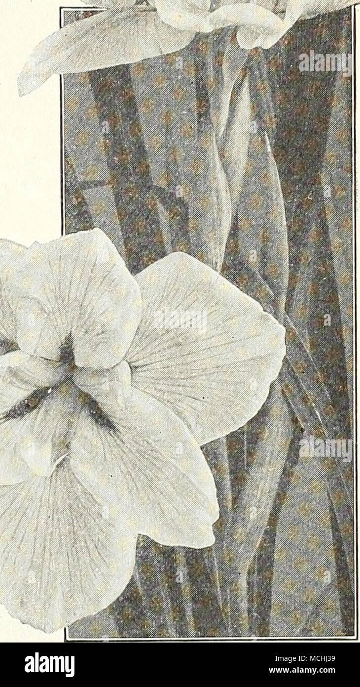 5d7b7d80c Japanese Iris IRIS INTERREGNA An interesting type, flowering earlier than  the Iris Ger- .
