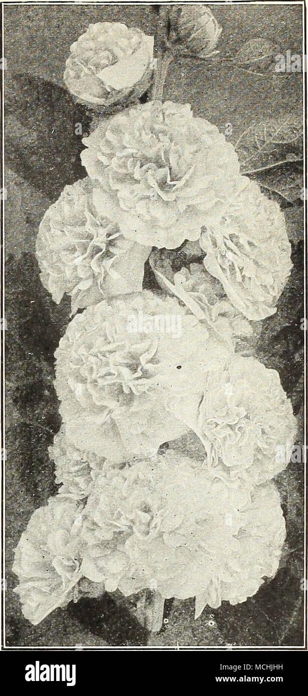 Imperial Japanese Ipomoeas Iris Flowering Flag 2888 Germanica Ger