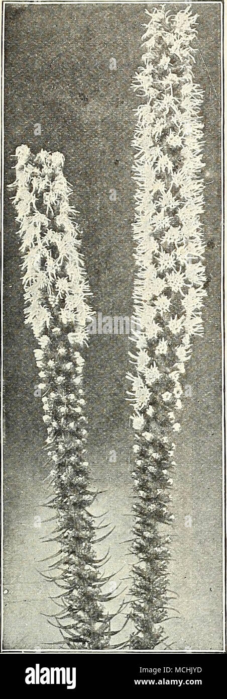 . LiATRis. (Offered on page 184) L u €jSm^P$l3 (Campion, Lamp Flower, etc.) All of the Lychnis are of the easiest culture, thriving in any soil, and this, in addition to their brightness, has brought them into high favor with lovers of hardy plants. Chalcedonica {Jerusalem Cross). A most desirable plant, heads of brilliant orange- scarlet in June and July; grows 2 to 3 feet high. Chalcedonica alba. A white-flowered form of above. Biaageana. Brilliant orange-scarlet flowers in May and June; 12 inches. Viscaria, Double Red. Forms a dense tuft of evergreen foliage, and in June sends up spikes of  Stock Photo