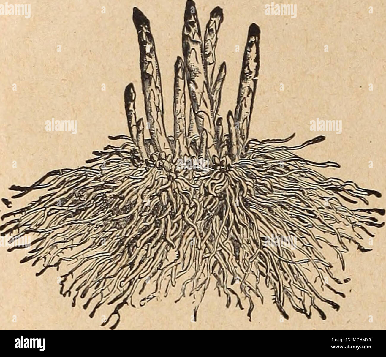 Asparagus Root Fab^£ac5JM fa Vegetable Plants, Roots and Herbs While