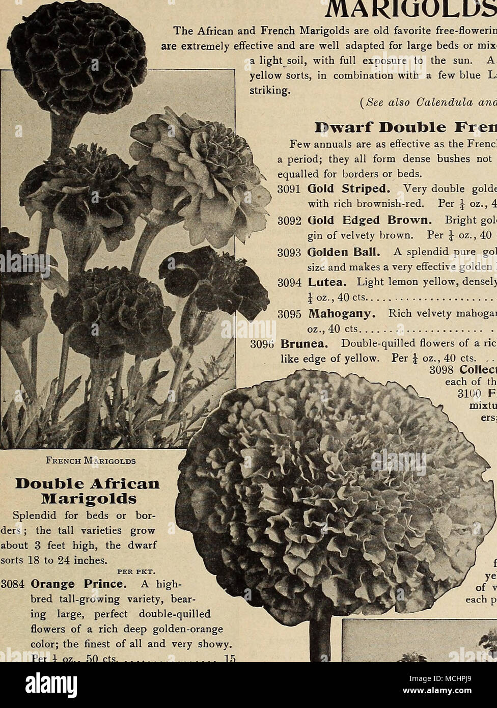 The african and french marigolds are old favorite free flowering the african and french marigolds are old favorite free flowering annuals of easy culture both are extremely effective and are well adapted for large beds izmirmasajfo