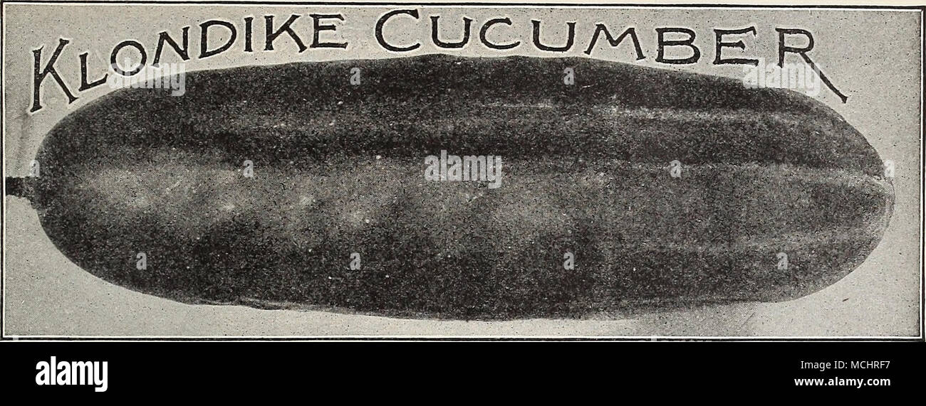 . Concombre, Fr. CUCUMBER Cohombro, Sp. Gurken, Ger. One ounce will plant fifty hills; two pounds will plant one acre. CULTUREâFor very early Cucumbers sow April 1st, in a hotbed upon pieces of sod (grass side down), so that they can be readily transplanted without disturbing the roots. When ground becomes warm, set the pieces of sod holding the seedlings, into well prepared hills, and protect with pots or glasses until hardened. When the weather has become settled and warm, sow seeds in hills 4 to 6 feet apart each way; thin out to four of the strongest plants to each hill, after all danger f Stock Photo