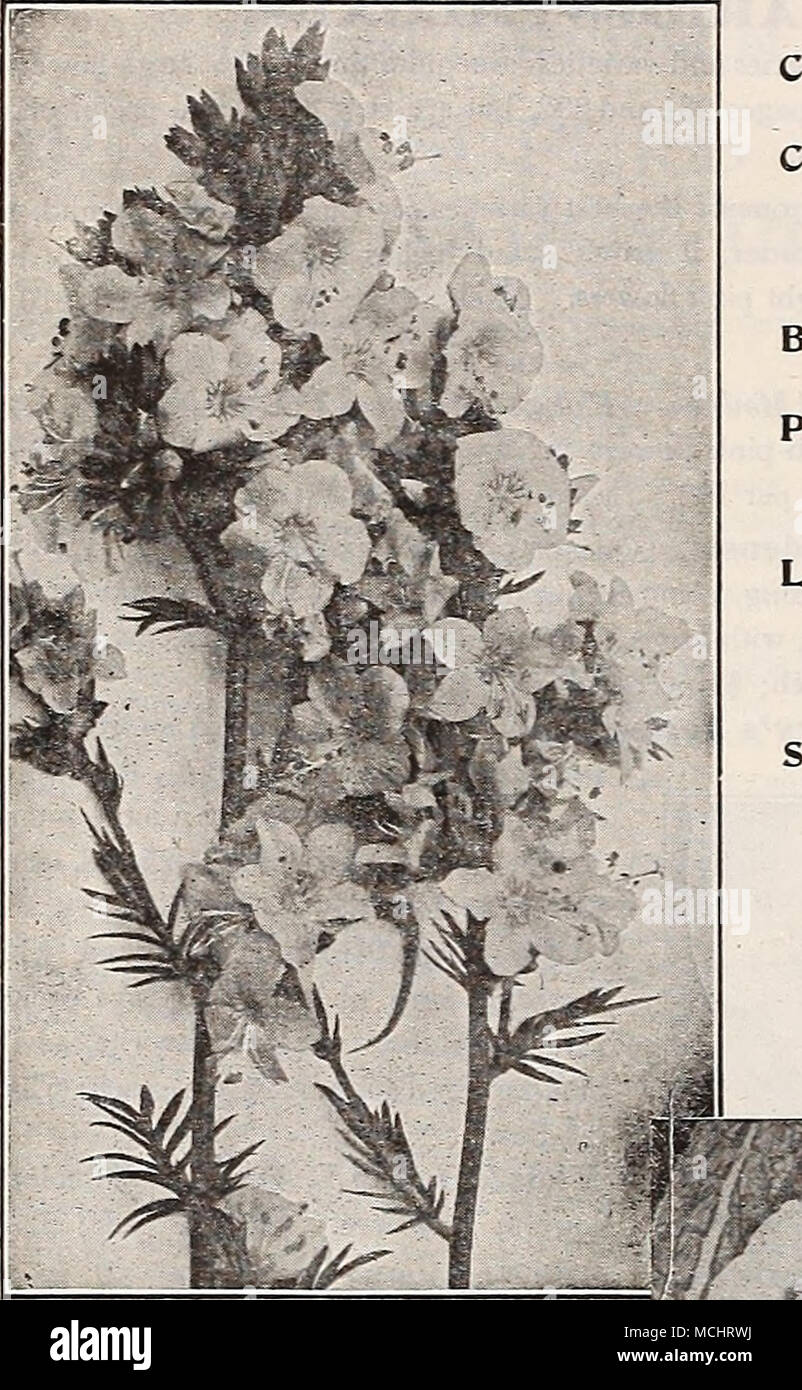 . Primula Vulgaris (English Primrose) (Offered on page 235) POLEMONIUM PLUMBAGO (Lead-wort). Larpentae. Of dwarf, spreading habit, growing 6 to 8 inches high; useful as an edging plant or for the rockery ; covered with beautiful deep blue flow- ers during the summer and fall months. 20 cts. each; $2.00 per doz.; $12.00 per 100. PODOPHYLLUM. Emodi Majus {Himalayan Man- drake). A curious species, growing almost 3 feet high, with pale green leaves, prettily marbled with bronze. The clear pink flowers are followed by large coral-red fruit; requires a partially shaded, rich, damp position to develo - Stock Image