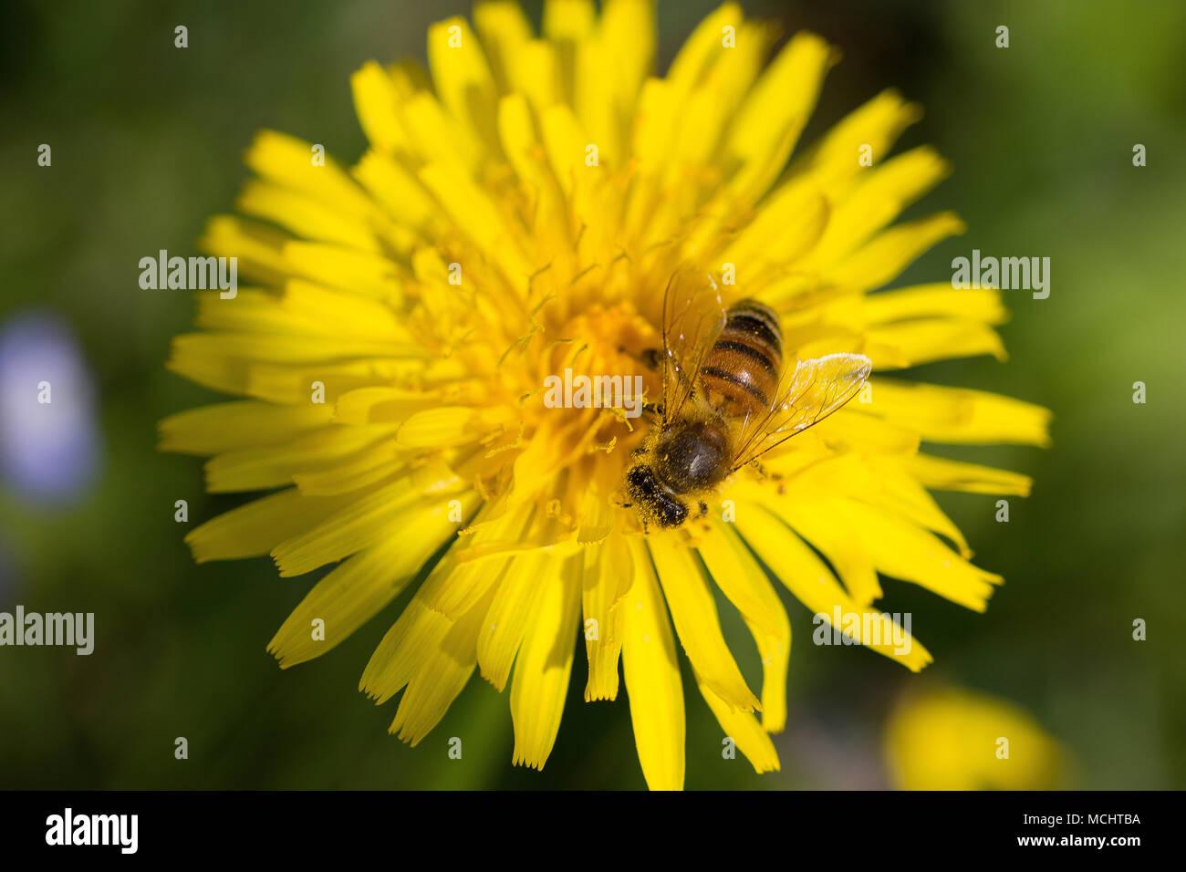 yellow dandelion closeup with bee Stock Photo