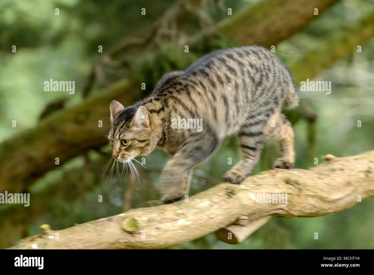 Young tabby cat, bengal cat walking along a tree branch, leg movement and blur, on a Monterey Cyprus tree - Stock Image