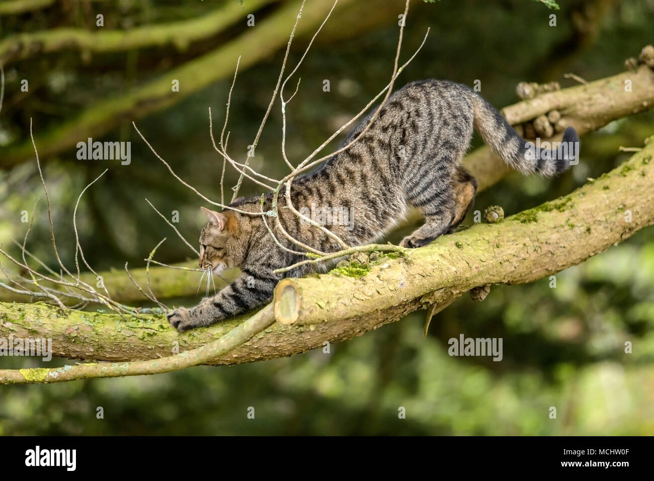 Young tabby cat, bengal cat climbing a Monterey Cyprus tree, high up on it's branches, stretching out. - Stock Image