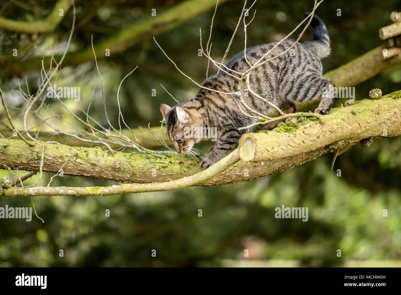 Young tabby cat, bengal cat climbing a Monterey Cyprus tree, peering down from high up on it's branches - Stock Image