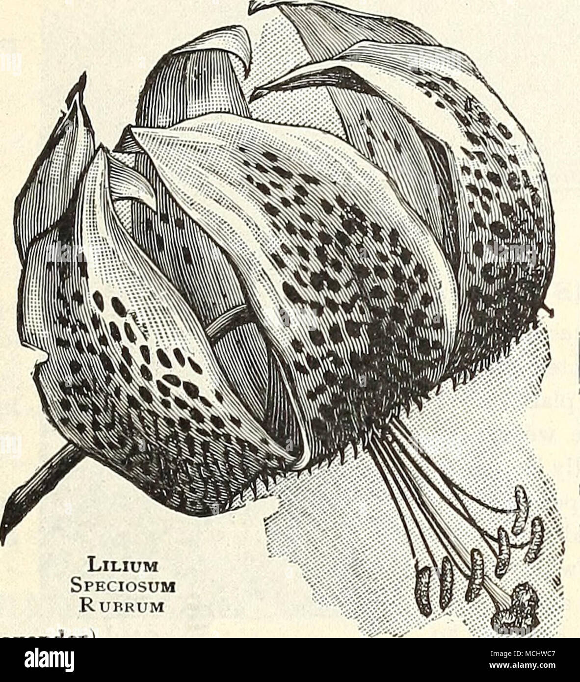 Lllium speciosum rurrum llatris lavandula lavender vera this is this is the true sweet lavender grows about 18 inches high delightfully fragrant blue flowers in july and august izmirmasajfo