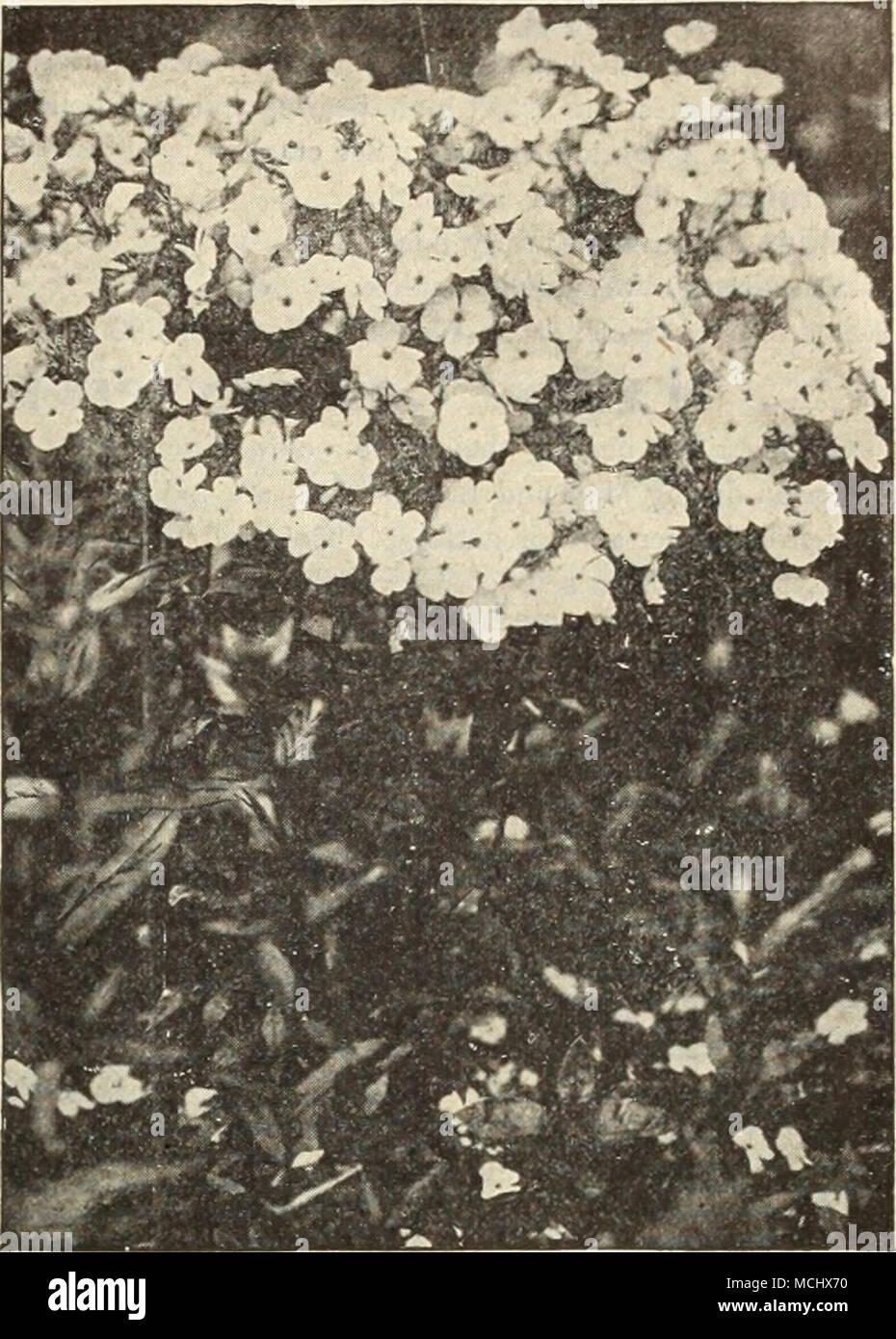 . New Hardy Phlox Arendsi. Atropurpurea. Purplish-rose. I Nelsoni. Pure white. Rosea. Bright rose. 10 cti. each; $1.00 per doz.; $G 00 per 100 - Stock Image