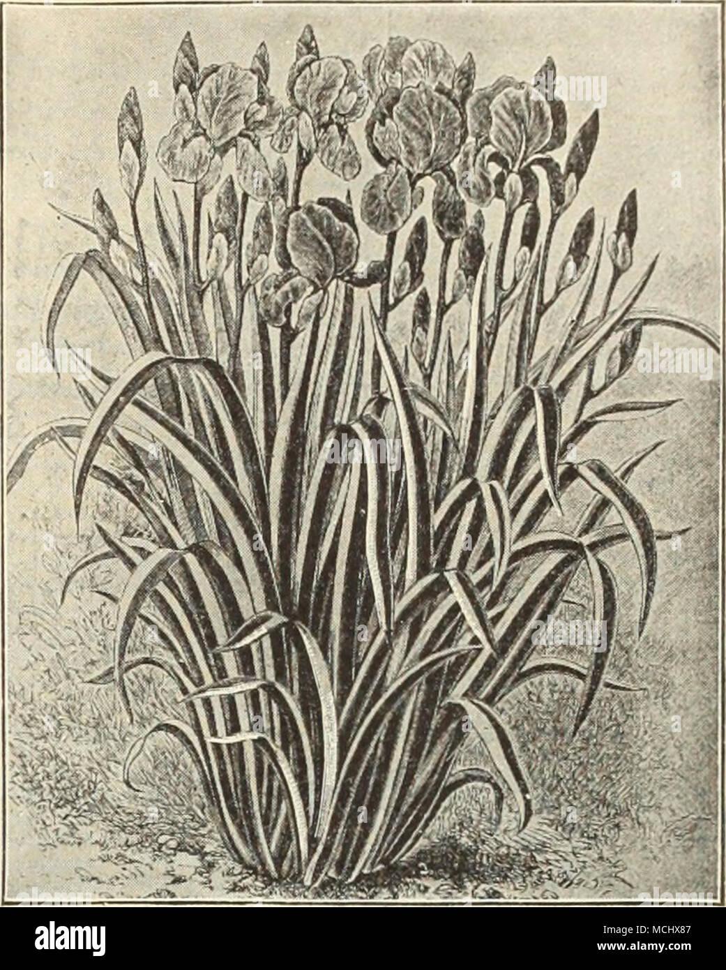 Fragrant spikes of deep purple flowers stock photos fragrant lilium speciobum rubrum llatris iris pallida folia varifgata lava3jditla izmirmasajfo