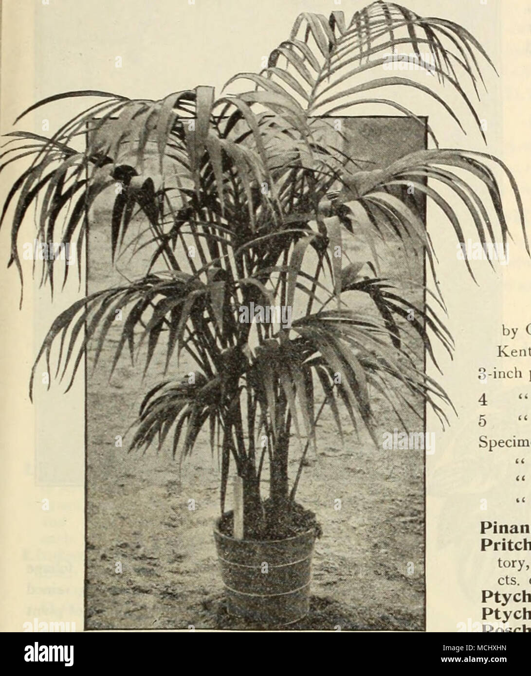 Made-up Plant of Kentia  (Offered on opposite page ) Kentia