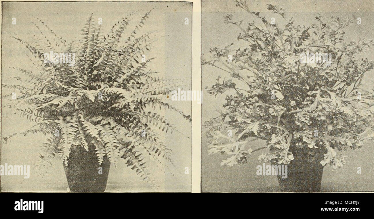 . Nephrolepis Scotti (Dwarf Boston Fern), Offered on uppositc page. Ptehis Wilsoni (Crested Fern). DREER'S GENERAL COLLECTION OF FINE FERNS Continued, Pteris Argyrsea. locts. â Adiantoides. 15 cts. â Alexandrine, locts. â Cretica Albo-Lineata. 15 cts. Magnifica. 15 cts. Mayii. locts. â Flabellata. 15 cts. â Hastata. 15 cts. â Internata. 15 cts. â Leptophylla. 15 cts. Sitalobium Cicutarium. Pteris Ouvrardi. 15 cts. â Serrulata. 15 cts. Cristata. 15 cts. â Sieboldii. 15 cts. â Tremula. 15 cts. â Victoria. 15 cts. â Wilsoni. 15 cts. and 25 cts. â Wimsettt. 1.^ cts. Hulticeps. 15 cts. Good Fern fo - Stock Image