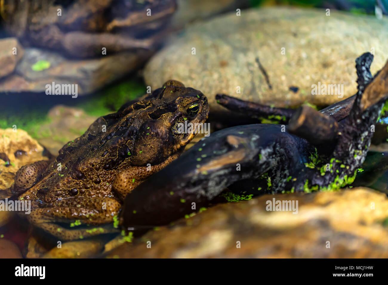 Cane toad or Rhinella marina close - Stock Image