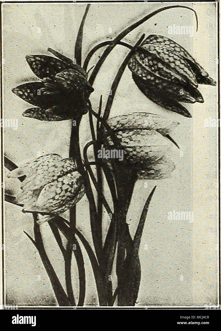 The Plantain Lilies Are Among The Easiest Plants To Manage Their