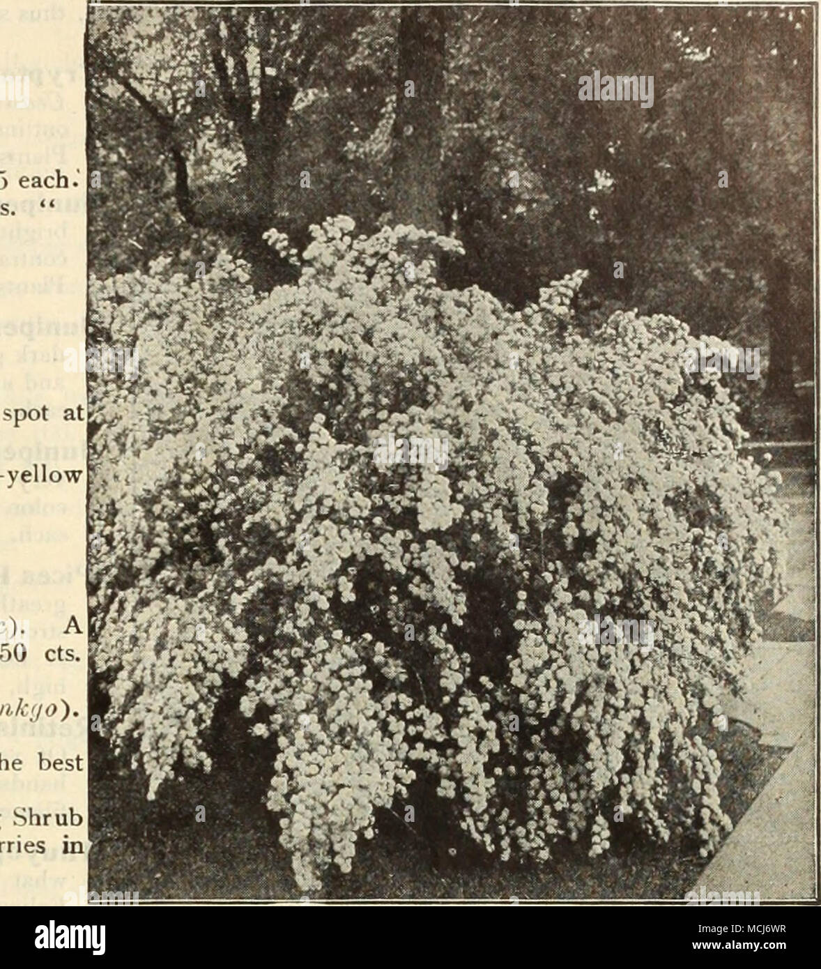 Spiraea Van Houttei Golden Double White Symphoricarpus Racemosus