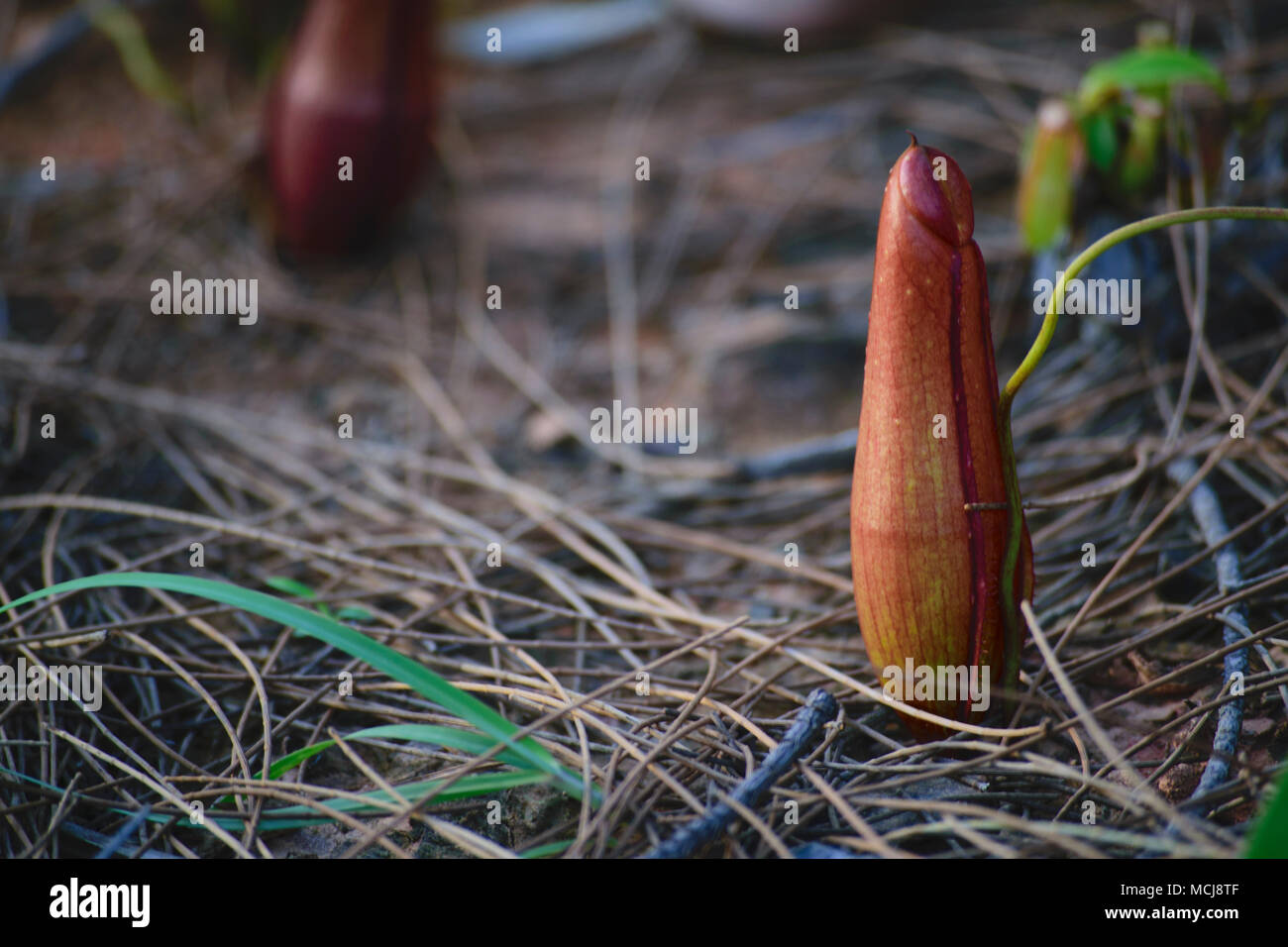wild plants of Nephentes (tropical pitcher plants) at Indonesia - Stock Image