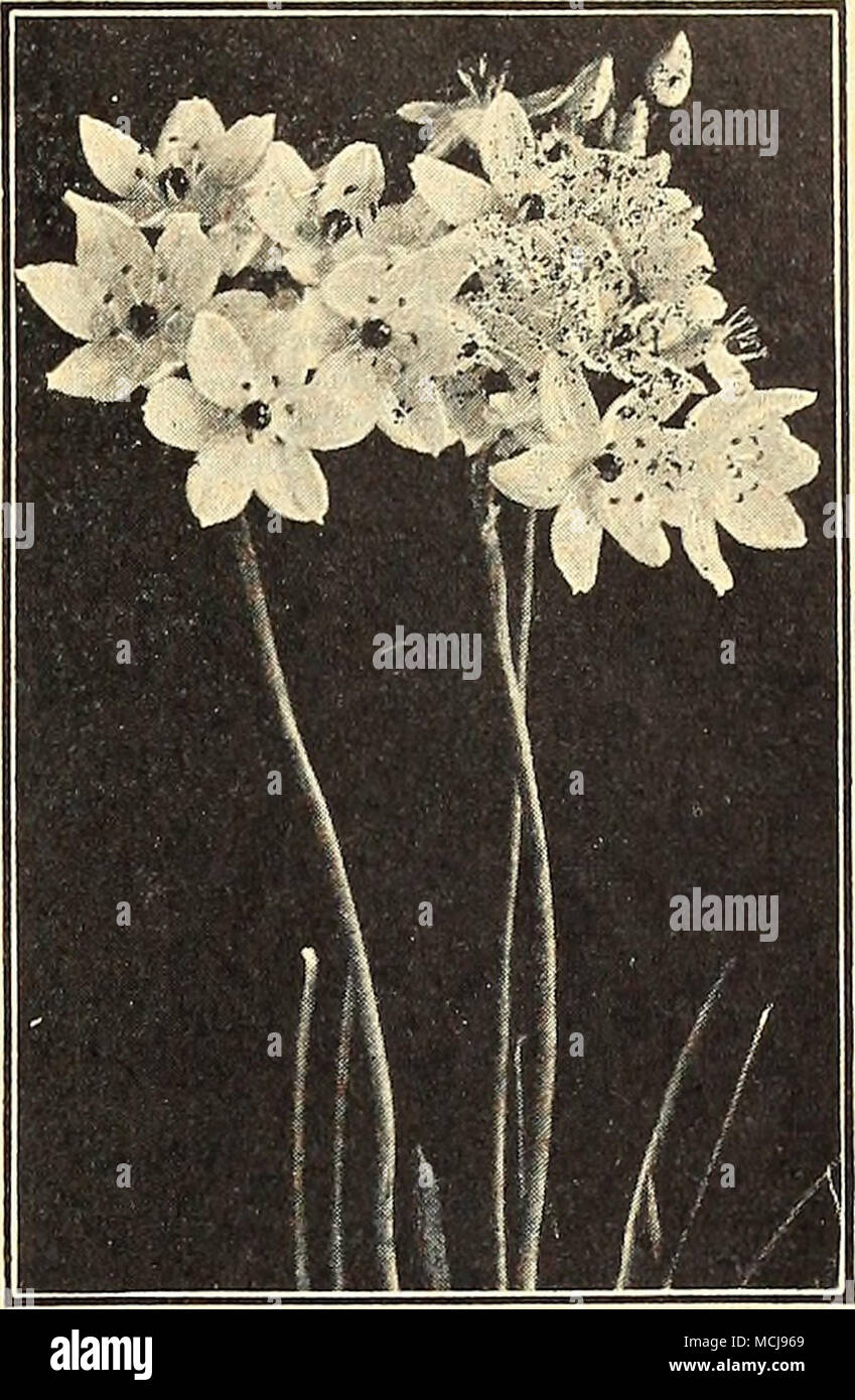 Ornithogalum Arabicum Star Of Bethlehem White Stock Photos