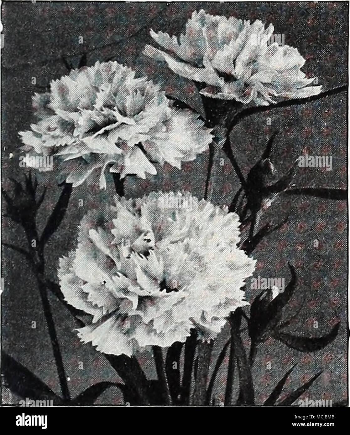 Calendula pacific beauty calliopsis hardy annuals of easiest calendula pacific beauty calliopsis hardy annuals of easiest culture cosmos like flowers in shades of yellow with mahogany markings izmirmasajfo Choice Image