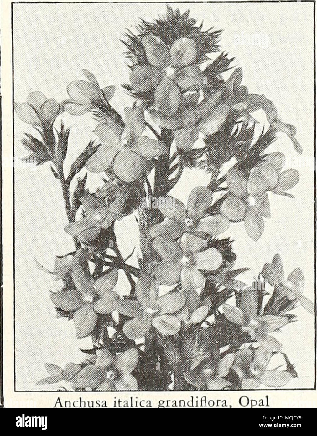 . Anchusa italica grandiflora. Opal ®=Annual; (B)=Biennial; [HHp]=Half-Hardy Perennial; [HP]=Hardy Perennial; [Tp]=Tender Perennial W - Stock Image