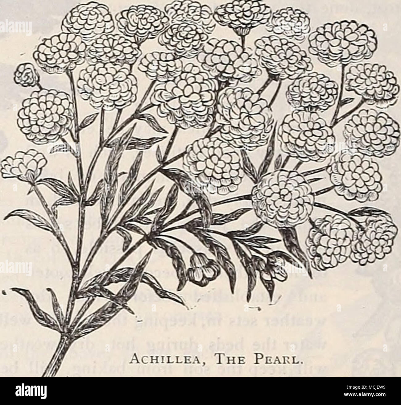 Achillea The Peakl Adoxis Beautiful Early Spring Flowering Plants