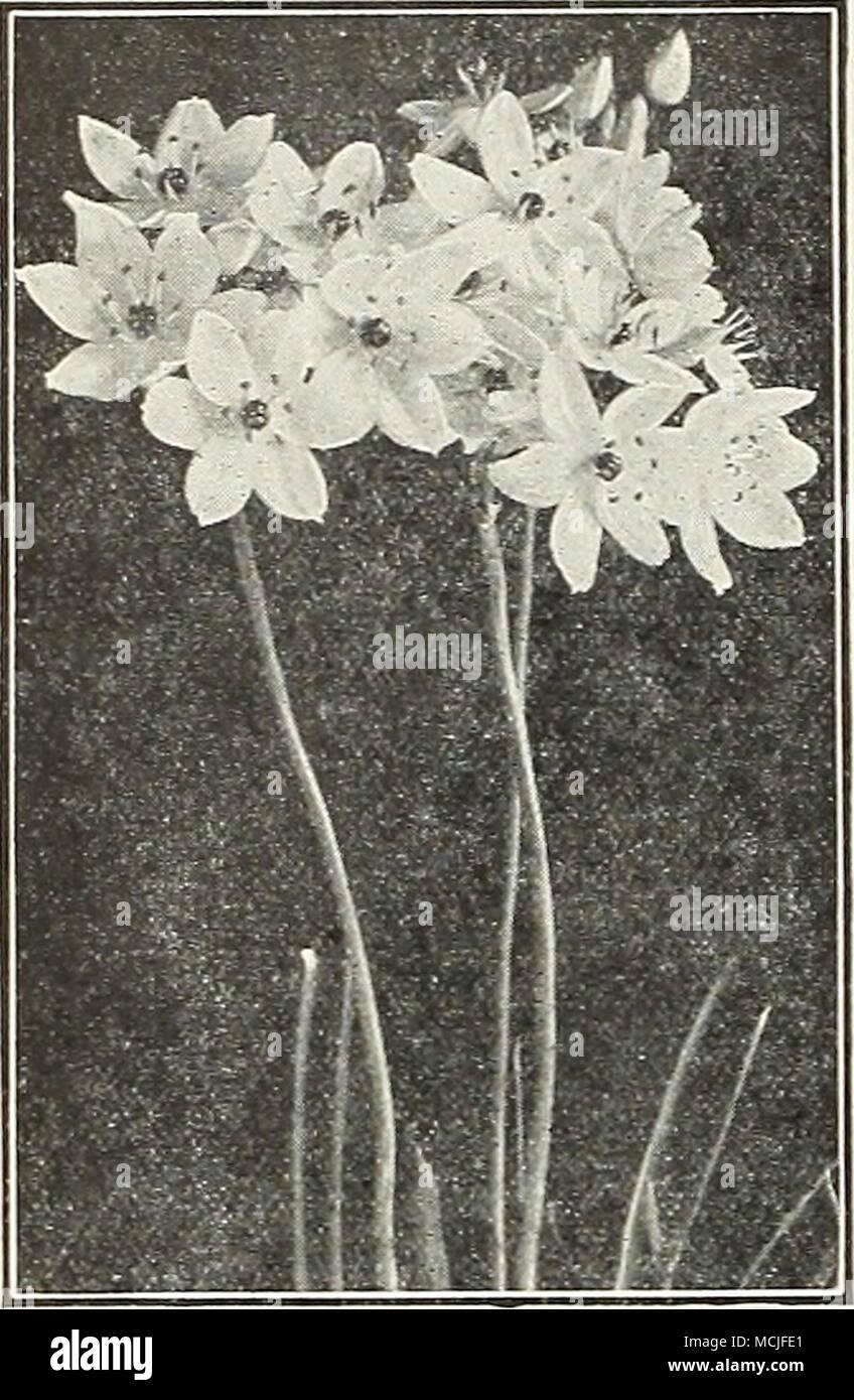 Ornithogalum Arabicum Star Of Bethlehem White Stock Photos