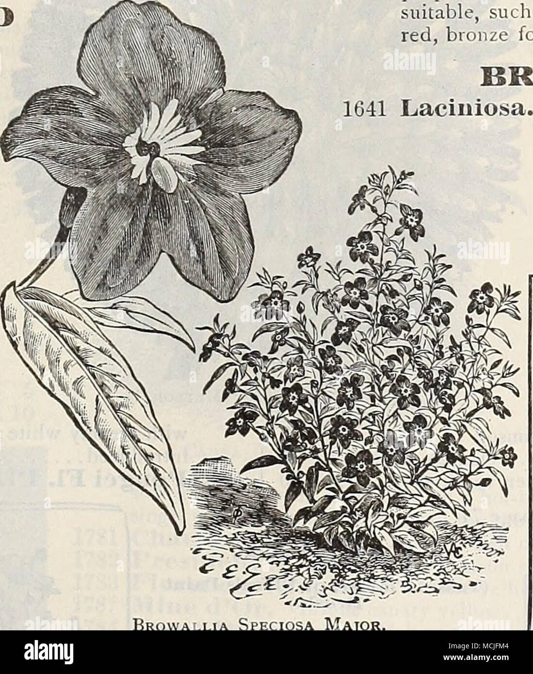 . BRYONOPSIS. 1641 Laciniosa. A beautiful annu.d climber of the gourd species, with ivy- like pale green foliage and showy fruit, first green striped w hite, turning, when ripe, to brighi scarlet striped white ; 10 feet. (See cut.) Brovvallia Spfxiosa Major. 0LD=FASH10NED FLOWERS. We offer collections of seed of both annual and per- ennial old-fashioned flowers on page 58. For index of Common or English names of Flowers, see page 100. ORNAMENTAI^-I^EAVED BEGONIA. per pkt 1566 Hex Hybrids. Beautiful varieties, with handsome variegated foliage. Choice mixed. (See cut.)  25 BRO'WAEEIA (Amethyst) - Stock Image