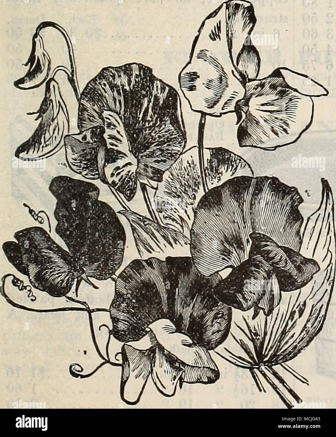 . SWEET PEAS. For early flowering we advise autumn planting; sow about the end of October in this latitude. 'The following are the choicest of Eckford's Large-flowering Sorts. For a complete list, see page 94 of our Garden Calendar for 1900. per per oz. PKT. Aurora, White, striped orange salmon 10 5 America. Red striped white 10 5 Ai)ple Blossom. Rosy pink, blush wings 10 5 Blanche Burpee. Largest white 10 5 Blanche Ferry. Pinkand white, ^â ery floriferous ... 10 5 Blanche Ferry. Extra early flowering 10 5 Black Knight. L'eep maroon... 15 5 Captain of tlie Blues. Bright purple blue Captivation Stock Photo