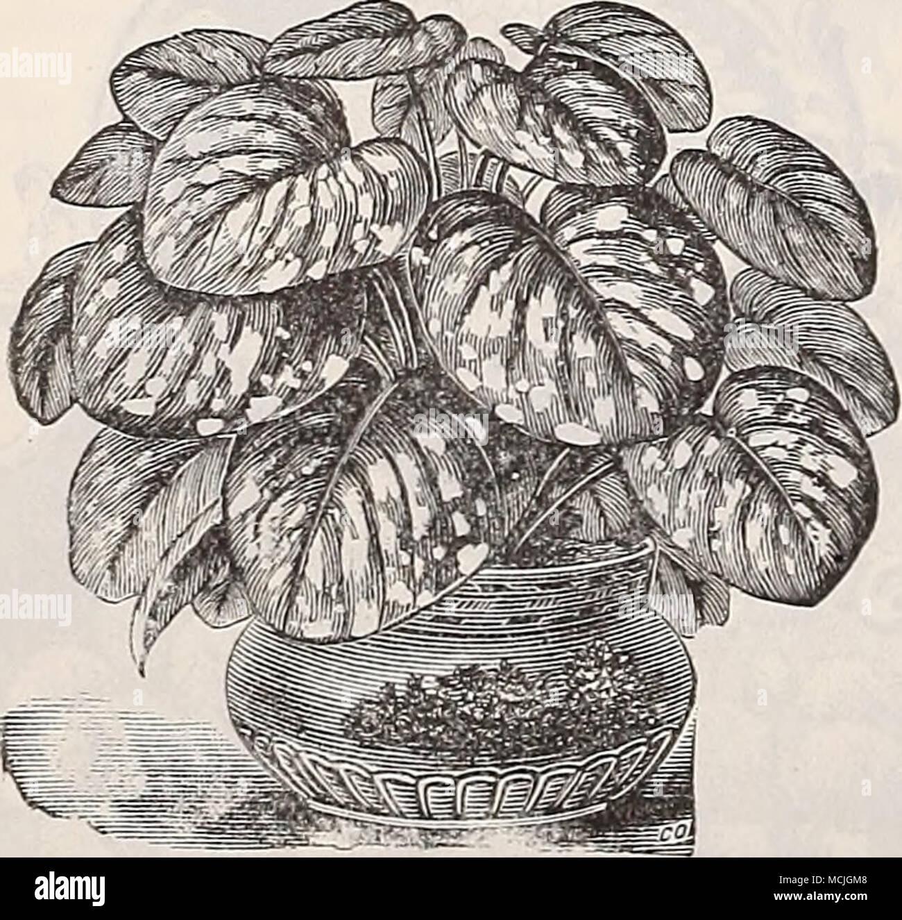 Gardenia Florida Cape Jessamine A Popular Well Known Plant With