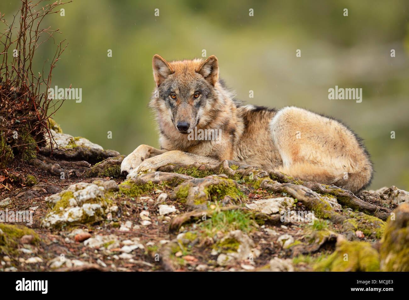 Eurasian Wolf (Canis lupus lupus) sitting, captive, Canton of Vaud, Switzerland - Stock Image
